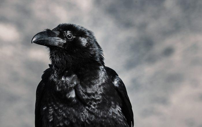 Eye of the Corvus, raven by photographer Tom Swinnen