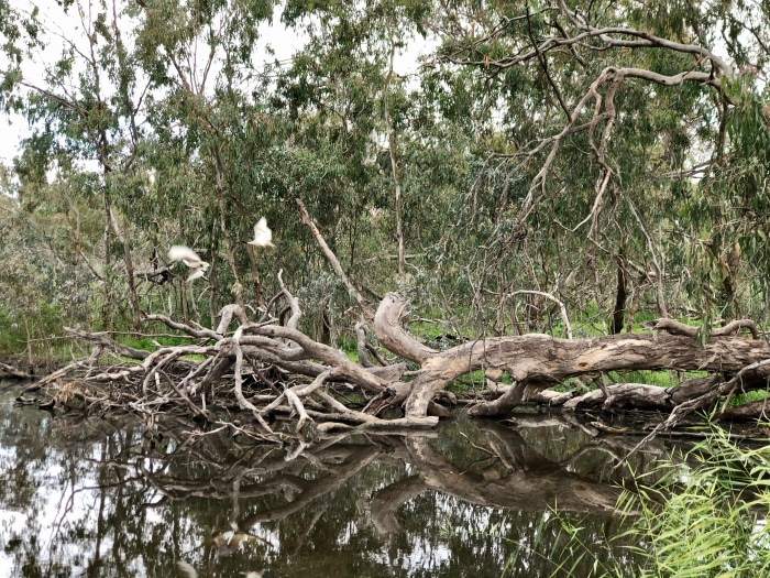 Water and birdlife returns to the Macquarie Marshes (June 2020)